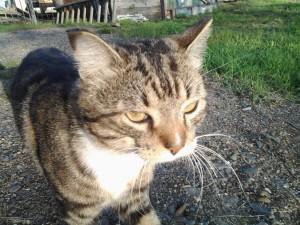 Кот Айко , у которого много работы по вылову мышей